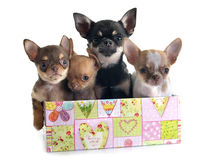 Puppies chihuahua Stock Photo