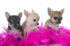 Puppies chihuahua Stock Photography
