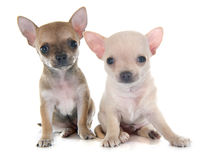 Puppies chihuahua Royalty Free Stock Photography