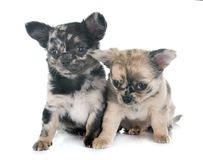 Puppies chihuahua in studio Royalty Free Stock Image
