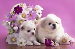 Puppies Chihuahua hua and Pekinese royalty free stock photography