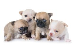 Puppies chihuahua in studio Royalty Free Stock Photo
