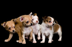 Puppies chihuahua in studio Royalty Free Stock Images