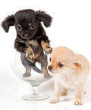 Puppies chihuahua in studio Stock Photography