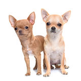 Puppies chihuahua in studio Stock Images
