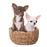 Puppies chihuahua in studio Stock Photos