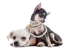Puppies chihuahuas Stock Images