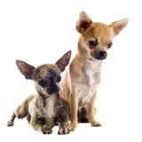 Puppies chihuahuas Stock Photo