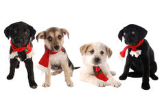 Puppies in Christmas Holiday Scarves Royalty Free Stock Images