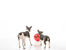 Puppies and a Christmas ornament. Two puppies are curious about a Christmas ornament isolated against a white background. They can see their reflection in the royalty free stock photo