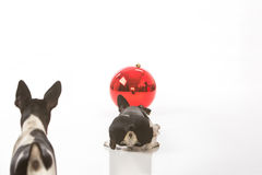 Puppies and a Christmas ornament. Two puppies are curious about a Christmas ornament isolated against a white background. The crouched puppy can see his stock image
