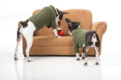 Puppies and a Christmas ornament Royalty Free Stock Image
