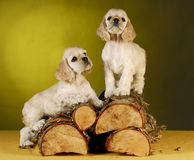 Puppies climbing on wood Stock Images