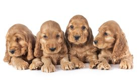 Puppies cocker spaniel. In front of white background stock photo