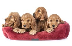 Puppies cocker spaniel. In front of white background royalty free stock photo