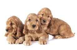 Puppies cocker spaniel. In front of white background stock image