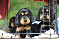 Puppies cockers spaniel royalty free stock image