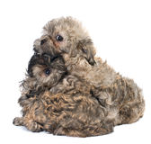 Puppies colored lapdog. In studio Royalty Free Stock Photos