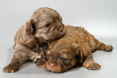Puppies colored lapdog in studio Royalty Free Stock Photography