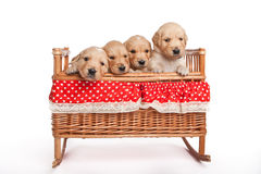 Puppies in a crib Royalty Free Stock Photography