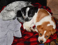 Puppies,cute as a bug in a rug. Royalty Free Stock Images