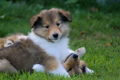 Puppies. Cute puppies playing stock image