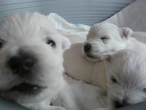 Puppies 5 Royalty Free Stock Image