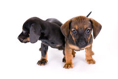 Puppies of dachshund royalty free stock image
