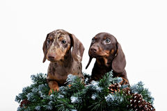 Puppies dachshund on spruce branch Stock Image