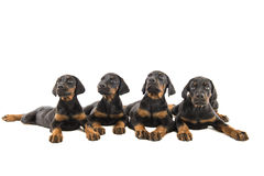 Puppies doberman pinscher Royalty Free Stock Photo
