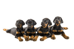 Puppies doberman pinscher Royalty Free Stock Photography