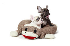 Puppies In A Dog Bed stock photography