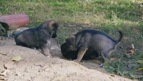 Puppies dogs play in nature. One puppy drags for an apa of another, fighting stock video footage