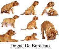 Puppies Dogue de Bordeaux Royalty Free Stock Photos