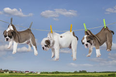 Puppies drying on washing line Stock Images