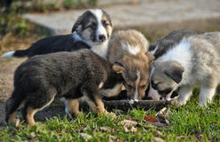 Puppies eating Royalty Free Stock Photography