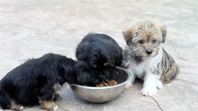 Puppies eating stock footage