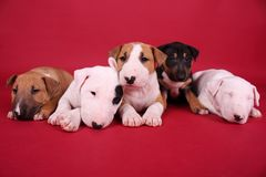Puppies English Bull Terrier. Five  English bull terrier puppies lying on a red background  in a studio Stock Image