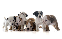 Puppies english bulldog and jack russel terrier stock photo