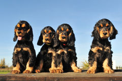 Puppies english cocker Stock Image