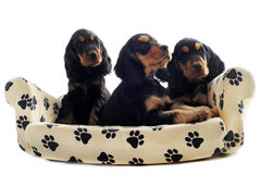 Puppies english cocker Royalty Free Stock Photos