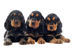 Puppies english cocker Stock Photos