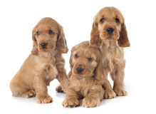 Puppies english cocker Stock Photo