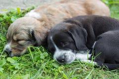 Puppies falling asleep Stock Photo