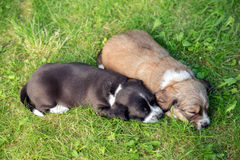 Puppies falling asleep. Two little sleeping puppies lying in backgarden Royalty Free Stock Photography