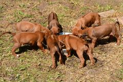 Puppies feeding together Royalty Free Stock Photo