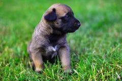 Puppies in field. Young puppies belgian shepherd malinois in field Stock Images