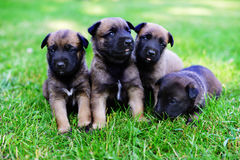 Puppies in field Stock Images