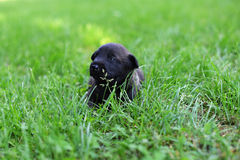 Puppies in field. Young puppies belgian shepherd malinois in field Royalty Free Stock Photography
