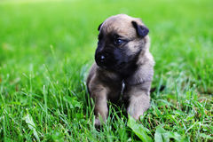 Puppies in field. Young puppies belgian shepherd malinois in field Royalty Free Stock Image